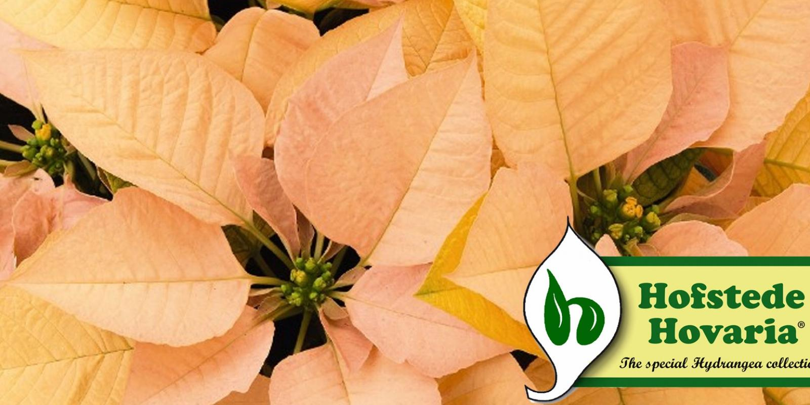 Our growers from Roobos wholesale for flowers and plants: Hofstede Hovaria