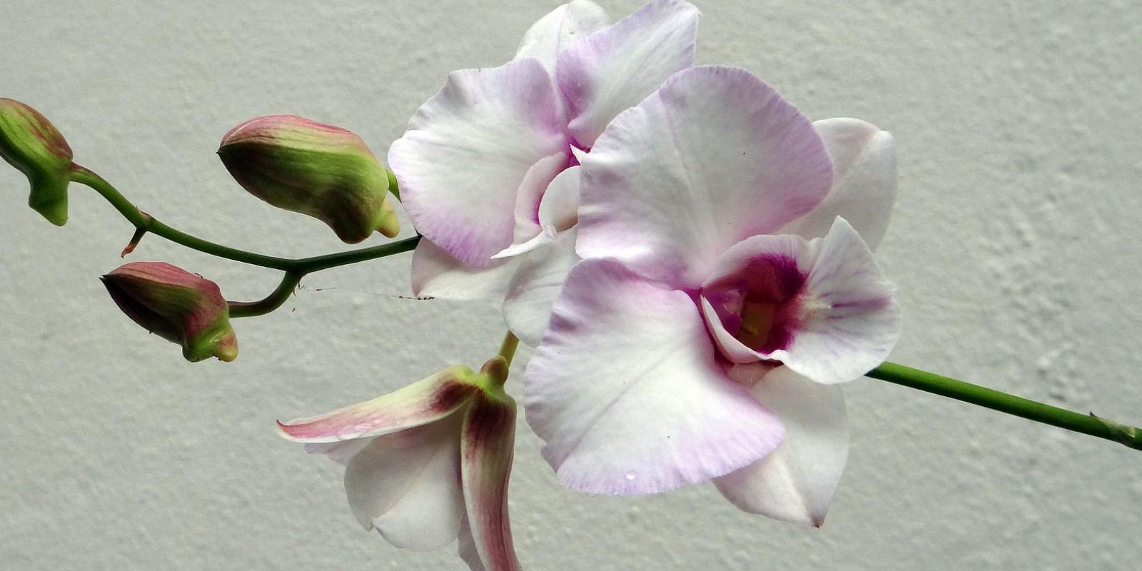 The best growers at Roobos wholesale for flowers and plants: De Hoog Orchids