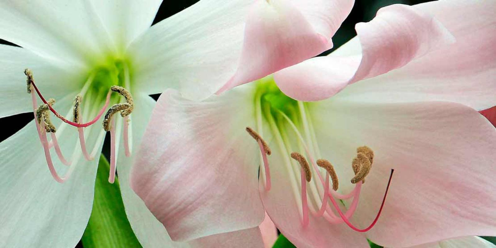 the most beautiful Amaryllis from Kwekerij Gebr. van der Velden