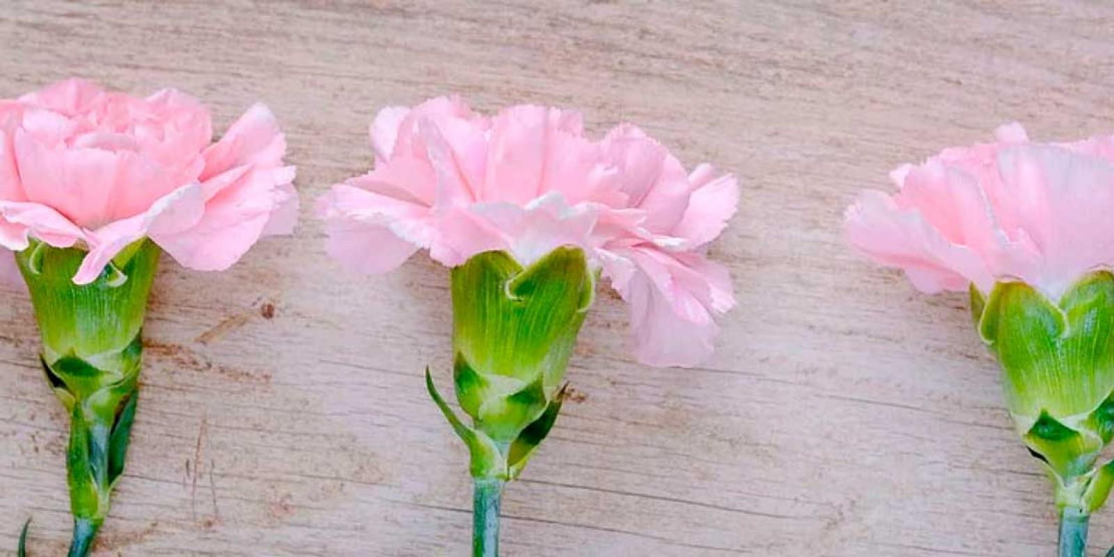 the most beautiful carnations from nursery Divine Flowers